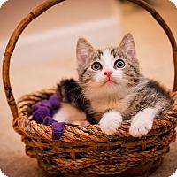 Adopt A Pet :: Admiral Mittens - Fredericksburg, VA