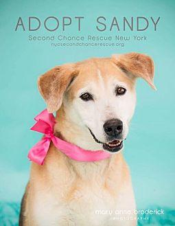German Shepherd Dog/Labrador Retriever Mix Dog for adoption in Whitestone, New York - SANDY