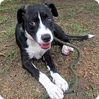Adopt A Pet :: Cagney - Boston, MA