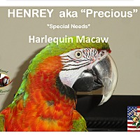 Adopt A Pet :: HENRY SPECIAL HARLEQUIN MACAW - Vancouver, WA