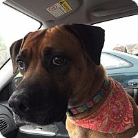 Adopt A Pet :: Sugarplum - Fayetteville, AR