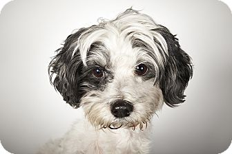 shih tzu rescue nyc wesley adopted dog new york ny shih tzu mix 6391