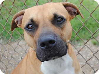 Boxer Mix Dog for adoption in Anniston, Alabama - Lily
