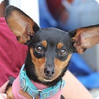Miniature Pinscher Mix Dog for adoption in Harrison, New York - Phoebe