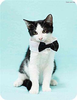 Domestic Shorthair Kitten for adoption in Oviedo, Florida - Han the handsome boy