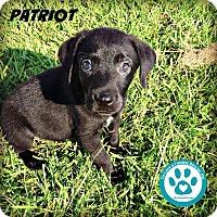 Adopt A Pet :: Patriot - Kimberton, PA