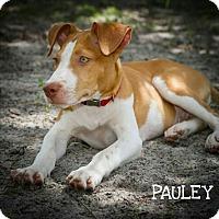 Adopt A Pet :: Pauley - Weeki Wachee, FL
