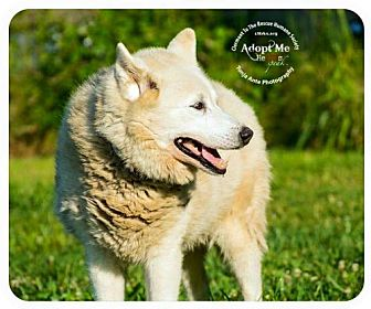 Shepherd (Unknown Type) Dog for adoption in Batavia, Ohio - Snow