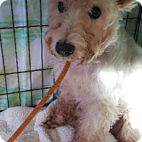 Schnauzer (Standard) Dog for adoption in Freeport, New York - Pike