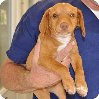 Dachshund/Beagle Mix Puppy for adoption in Sunrise Beach, Missouri - Autumn