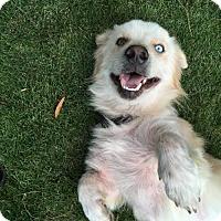 Adopt A Pet :: Gershwin - Alpharetta, GA