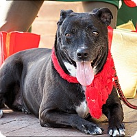 American Pit Bull Terrier/Labrador Retriever Mix Dog for adoption in Phoenix, Arizona - Darby
