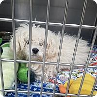 Adopt A Pet :: Tweety - Las Vegas, NV