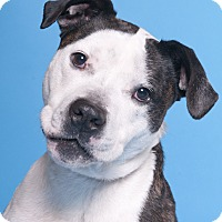 Adopt A Pet :: Shadow - Chicago, IL