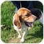 Photo 1 - Beagle Dog for adoption in Racine, Wisconsin - Cherry Blossom