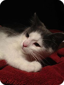 Domestic Shorthair Kitten for adoption in New Egypt, New Jersey - Declan