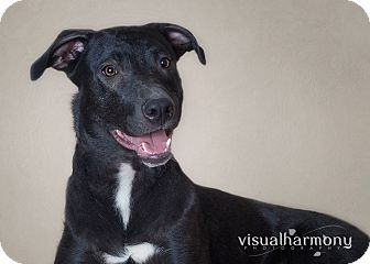 Labrador Retriever/Husky Mix Dog for adoption in Phoenix, Arizona - Dorothy