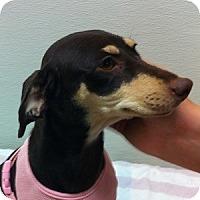 Adopt A Pet :: Darcy - Gilbert, AZ