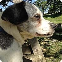 Adopt A Pet :: Archie the Tyrant - Cape Girardeau, MO