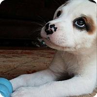 Adopt A Pet :: Boris - Arden, NC