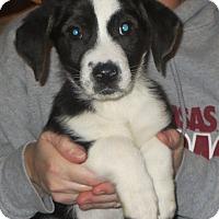 Adopt A Pet :: Gennaro - Allentown, PA