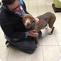 Adopt A Pet :: Misty - Cleveland, OH