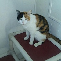 Calico Cat for adoption in Elk Grove, California - Violet