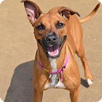 Adopt A Pet :: Pebbles - Glenolden, PA