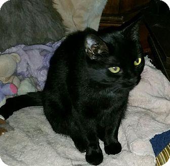 Domestic Shorthair Cat for adoption in Kitchener, Ontario - Wanda