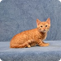 Adopt A Pet :: Charlie Brown (Kitten) - Cary, NC