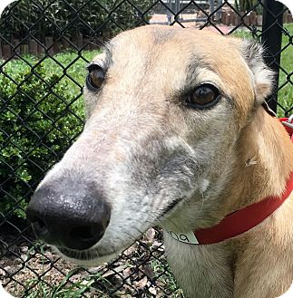 Greyhound Dog for adoption in Longwood, Florida - Gogo Indiana