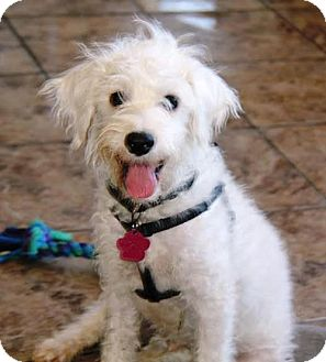 Terrier (Unknown Type, Medium)/Poodle (Miniature) Mix Puppy for adoption in San Diego, California - Teddy