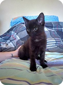Domestic Shorthair Kitten for adoption in Enid, Oklahoma - Gothan