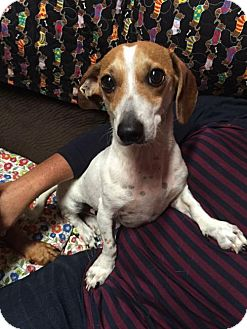 Dachshund/Feist Mix Dog for adoption in York, South Carolina - Samson