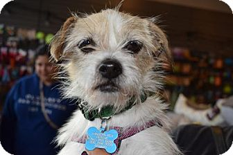 Cairn Terrier Mix Dog for adoption in Seattle, Washington - Edie Rio