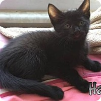 Domestic Shorthair Kitten for adoption in Evansville, Indiana - Hanzo