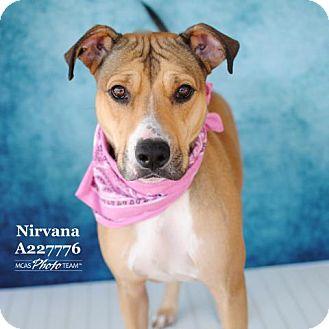 Boxer Mix Dog for adoption in Conroe, Texas - NIRVANA