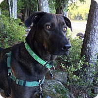 Adopt A Pet :: Loki - in Maine, Courtesy Post - kennebunkport, ME