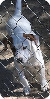 Hound (Unknown Type)/Boxer Mix Puppy for adoption in Garner, North Carolina - Jan