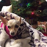 Adopt A Pet :: Clara - Monrovia, CA