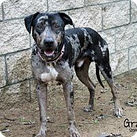 Adopt A Pet :: Gray - Santa Maria, CA