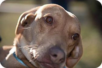 Beagle/Labrador Retriever Mix Dog for adoption in Halethorpe, Maryland - Sunny