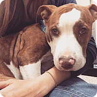 Adopt A Pet :: Strawberry - Reisterstown, MD