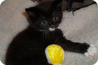 black amp white kittens adopted kitten acme pa
