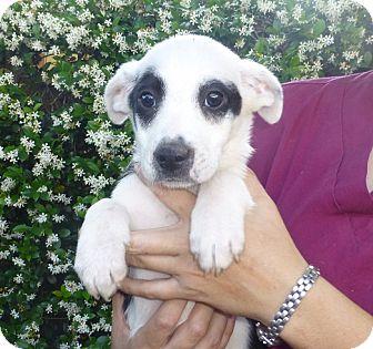 Australian Shepherd/Labrador Retriever Mix Puppy for adoption in Oviedo, Florida - Franny
