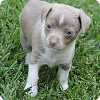 Adopt A Pet :: Dutch - La Habra Heights, CA
