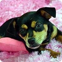Adopt A Pet :: Tessie-Adoption pending - Bridgeton, MO