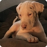Adopt A Pet :: Great Dane Puppy - Reno, NV