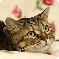 Domestic Shorthair Cat for adoption in Ventura, California - Ziggy