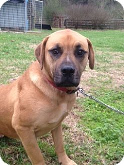Boxer Mix Dog for adoption in Brentwood, Tennessee - z- Brownie (courtesy listing)